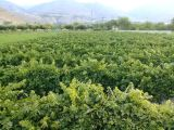 Erzincan Üzümlü'de Satılık Bağ
